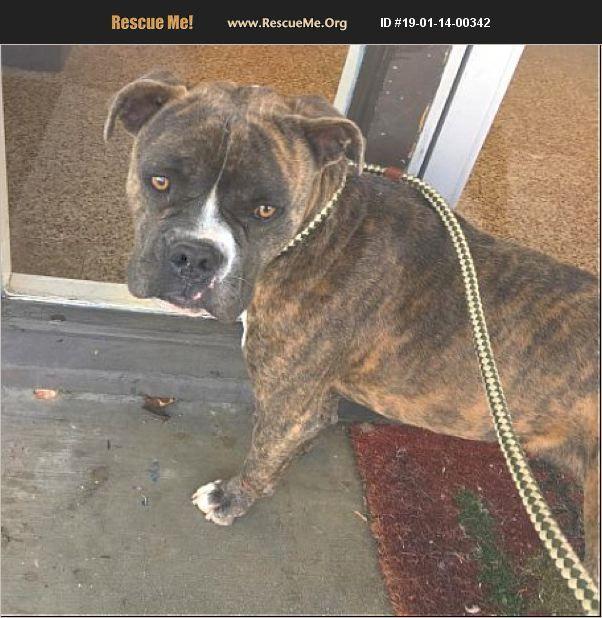 Adopt 19011400342 American Bulldog Rescue Seattle Wa American Bulldog Rescue Bulldog Rescue American Bulldog