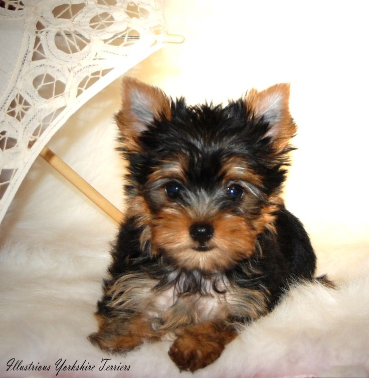 images of puppies | Yorkshire Terrier Puppies For Sale in Illinois | Yorkie breeder In ...