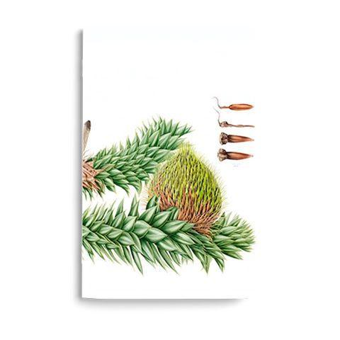 """Libretas con la increíble Araucaria araucana de @benyesil, para el libro """"Plantas de los Bosques de Chile"""" del @rbgedinburgh #ilustracionbotanica #diseñonacional #hechoenchile #disenochileno #libretas #araucaria #floranativa #plantaschilenas"""