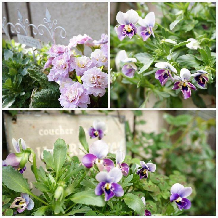 """Mi piace"": 12, commenti: 2 - @yukineko18 su Instagram: ""ビオラとプリムラの寄せ植えは、うまく咲き揃わなかったー別の日の写真です。 #ガーデニング #寄せ植え #ビオラ #ビオラMr.グリニッシュ #プリムラベラリーナ #みもとクローバー"""