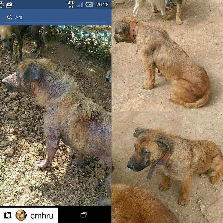 PLEASE WE NEED HELP TO FEED THESE DOGS WHO HAVE LIVED IN THE FOREST ALONE AND DIED FROM STARVATION AND DEHYDRATION WE NEED DONATIONS WE RESCUED 60 OF THEM IN AUGUST 2016  AND NEED MORE HELP TO FEED THEM PLEASE PLEASE HELP!  @Regrann from @cevikman -  @Regrann from @kbr.ytn -  DESTEK  BU ÇOCUKLARIN BİZİM YARDIMIMIZA İHTİYACI VAR  ORMANDA YAPAMAZLAR   #Repost @cmhru with @repostapp  Yok öyle pes etmek vaz geçmek.  2016 Agustosun da #bolluca barınağından çıkarttığımız 60 köpek den sadece biri O…