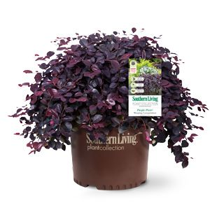 Purple Pixie® Dwarf Weeping Loropetalum 1-2' H by 4-5' W