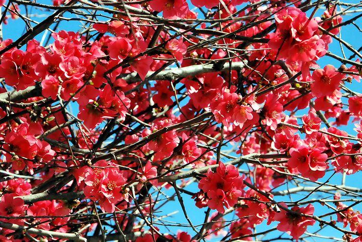 Fotos de flores: ARBUSTO, MEMBRILLERO JAPONÉS