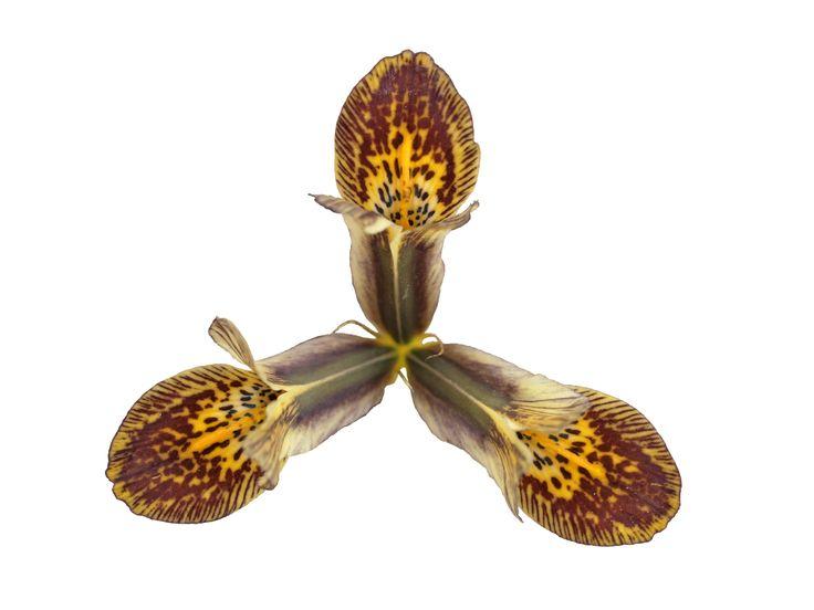 Reticulata Iris: 03-HW-1