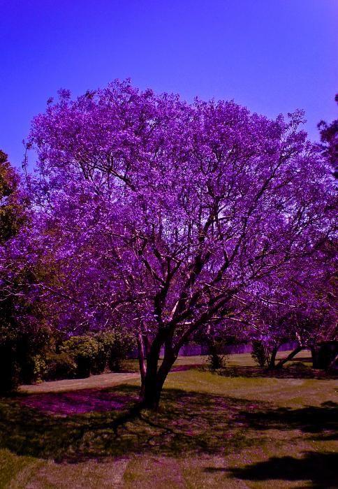 29 Best Jacaranda Trees Art Images On Pinterest Jacaranda Trees