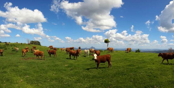Such a beautiful area here in #Maleny, #VisitSunshineCoast, #Queensland. #cows #stunningview #Australia