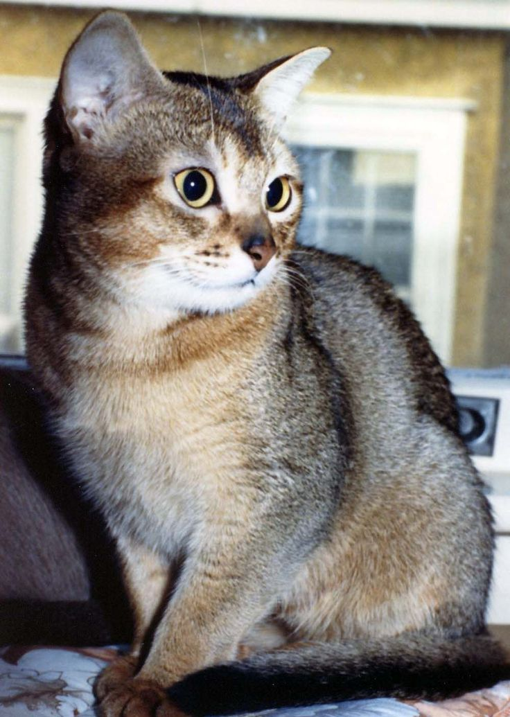 My sweet young Aby many years ago. cats, Cat