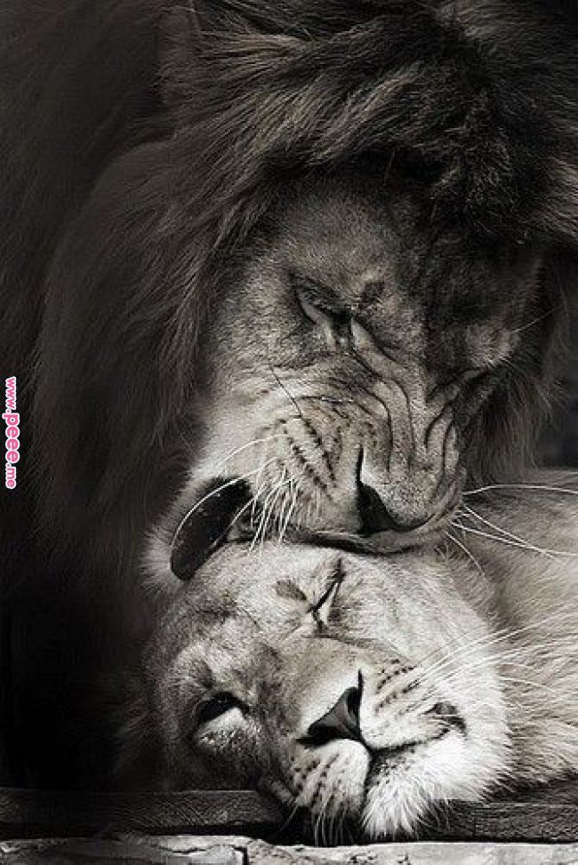 photo of lion and lioness