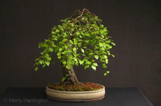 Birch Bonsai Related Keywords & Suggestions - Birch Bonsai Long ...