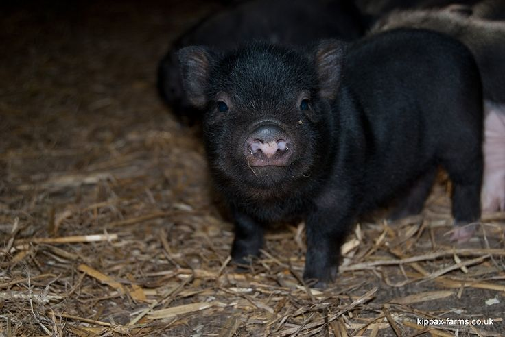 Pure black teacup pig. One day I'll have one! | THINGS I ...