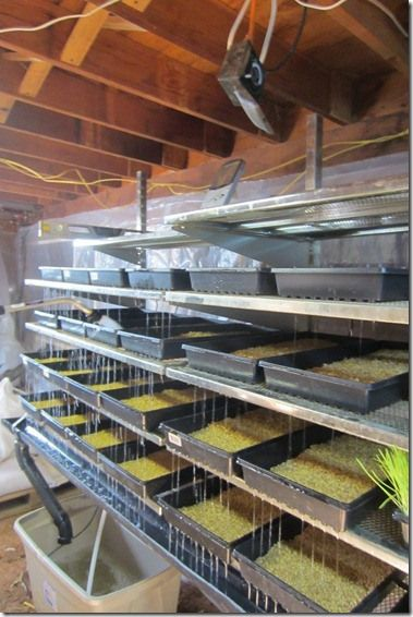 Amazingly simple way to grow your own fodder for chickens, pigs, goats or horses. Check out this sites posts for the whole story, you will be amazed!