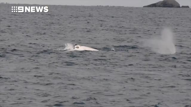 Is this Western Australia's Migaloo? Whale watchers discover 'incredibly rare' white humpback  Read more at http://www.9news.com.au/national/2017/07/10/07/31/incredibly-rare-white-whale-spotted-off-australia-s-western-coast#OyvXQEjlYCZ1WUqV.99