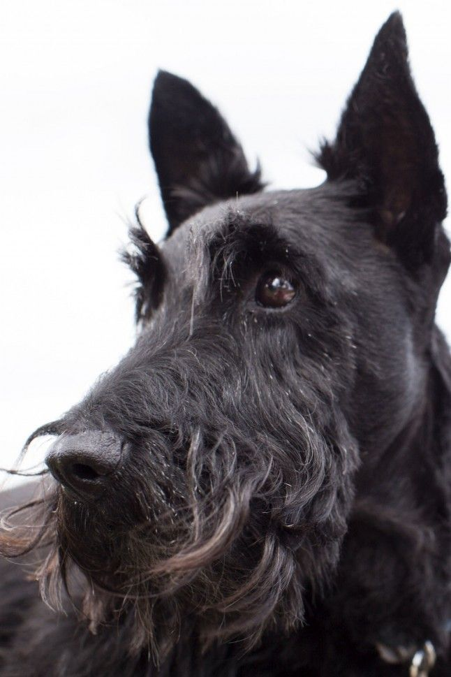 close up side view photography of a scottie dog great. Black Bedroom Furniture Sets. Home Design Ideas