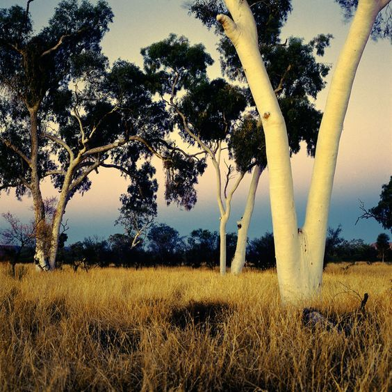 Australian Ghost Gums at dusk, near Alice Springs, Northern Territory.