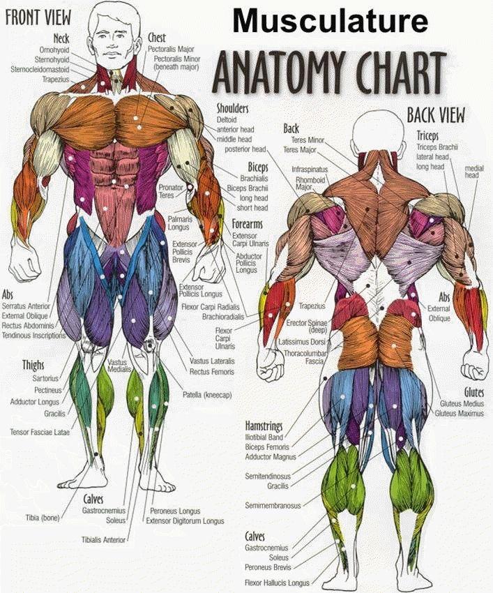 Funky Whole Body Anatomy Photos - Anatomy And Physiology Biology ...