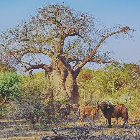 Buffaloes and baobabs seen on our game drive while staying at Pafuri Camp. The far northern Kruger Park has amazing scenery and is a birder's paradise! http://www.kruger-2-kalahari.com/pafuri-camp.html
