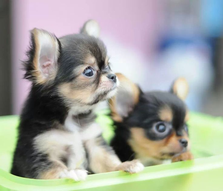 long haired chihuahua puppy cost