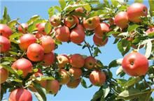 Enjoy your crisp Gala apples as soon as the first year!  -  	• One of the country's most popular apples! 	• Produces fruit years earlier than other apple trees 	• Low maintenance, grow organically 	 	Don't wait 3 to 5 years to start picking your Gala apples – plant a better developed tree for earlier fruit and a lifetime...