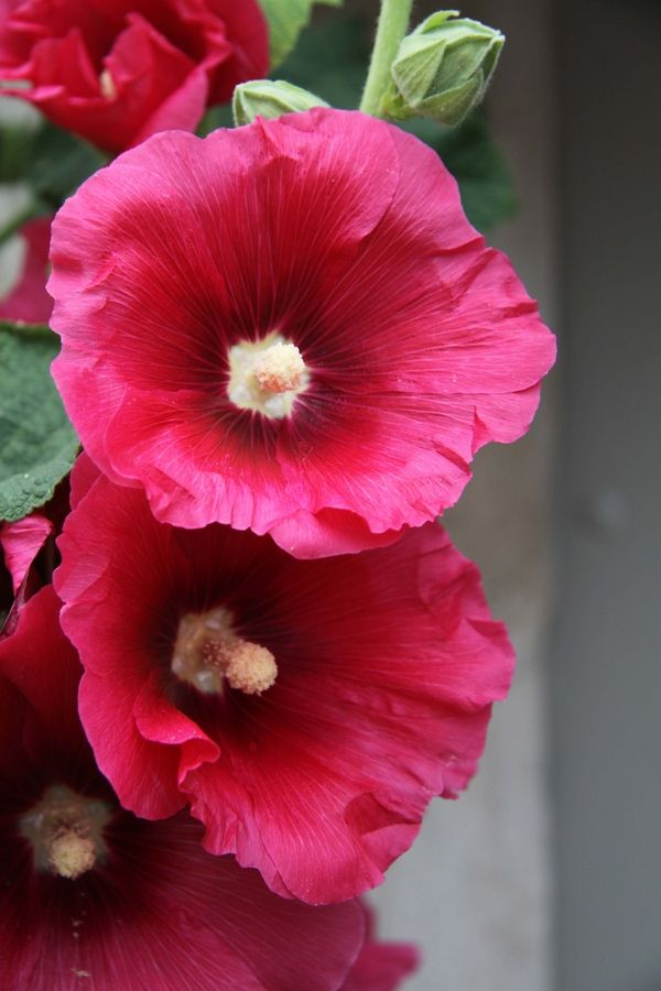 Hollyhocks... we had these growing almost wild, in the backyard & laneway @ 3 McFarland!