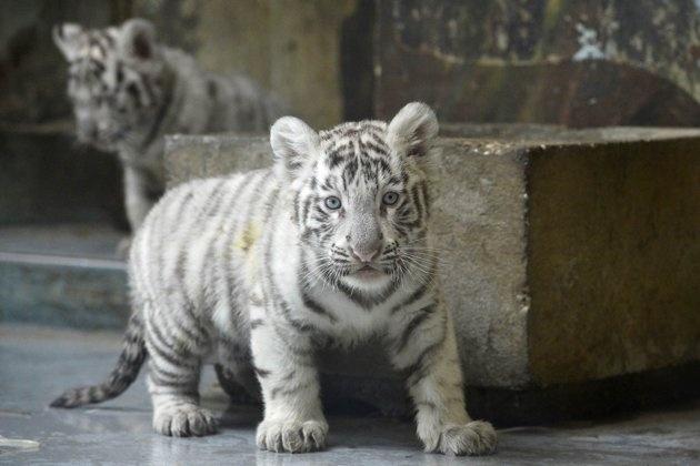 Zoo da Eslováquia apresenta filhotes de tigre-de-bengala brancos  Shilang deu à luz em dezembro de 2012 um macho, Adzaj, e duas fêmeas, Adisa e Asira