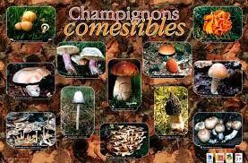 Résultats de recherche d'images pour «champignons comestibles»