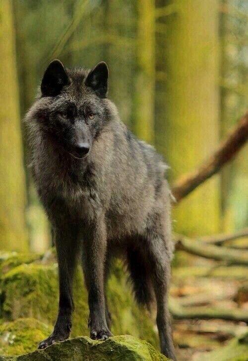 243 best black wolves images on pinterest black wolves wild blackbrown wolf sciox Images