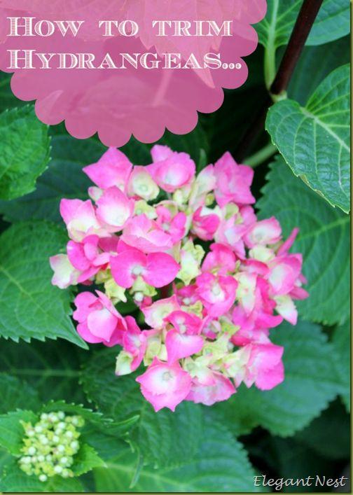 How to trim Hydrangeas...the tip to produce those beautiful blooms via Elegant Nest