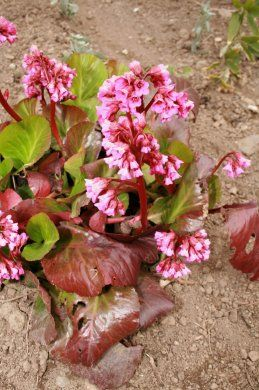 P3 Bergenia 'Bressingham Beauty' replaces Bergenia 'Baby Doll'