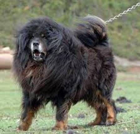 Black Tibetan mastiff dog in Ludhiana