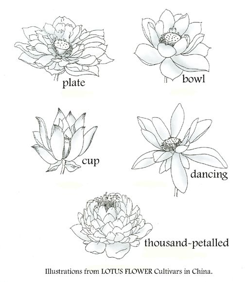 lotus classifications