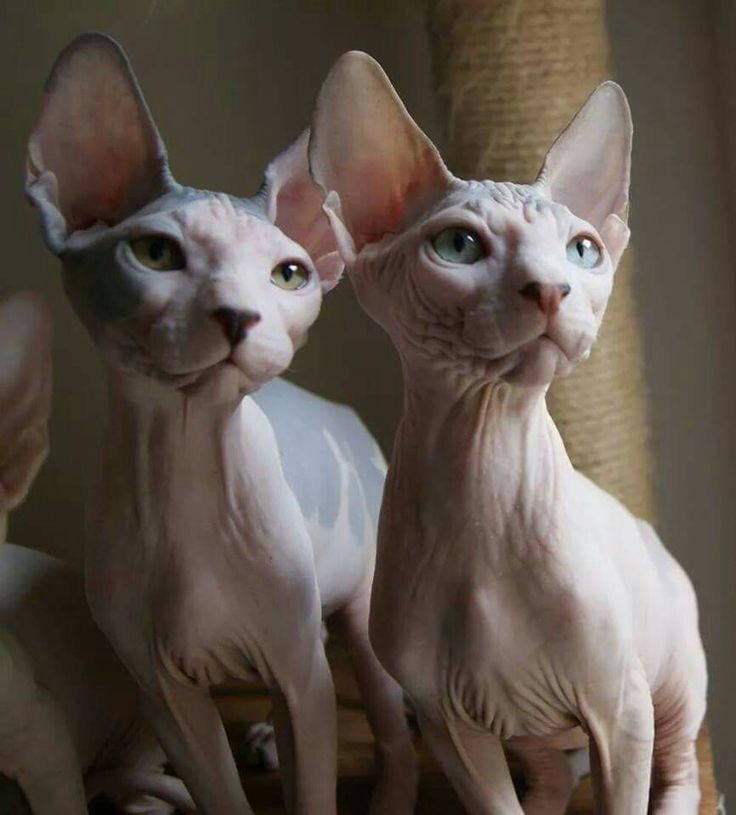 how to clean a sphynx cats ears