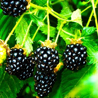 Growing Blackberries in your Yard. For the kids in a place where it doesn't matter if the plants take over.