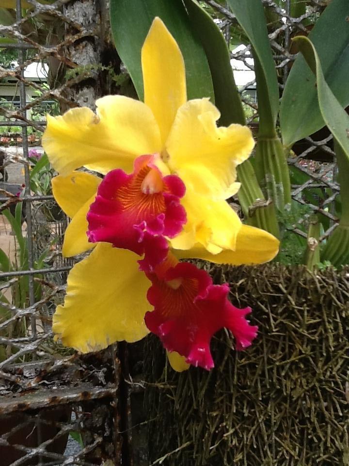 Yellow Red Lip - Cattleya