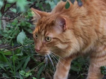 Katten zijn veel dodelijker dan gedacht! Na nieuw Amerikaans onderzoek met kleine camera's blijken katten nog grotere moordenaars te zijn dan gedacht.