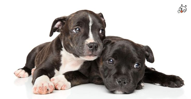 Did you know theese details about our  #Staffordshire_Bull_Terrier puppies? Click the Link or the image now and learn everything about them ;) http://puppies4all.com/staffordshire-bull-terrier-puppies-for-sale/ #dog #doglover #puppy #p4a#puppies #dogs #adorable #lovely #funny #loyal #breeds;