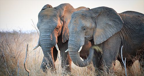 Japan: Stop Trading Ivory! - In Defense of Animals
