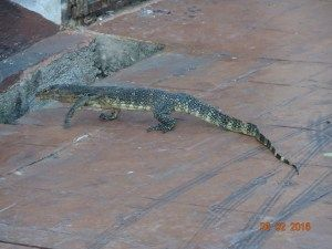 Monitor Lizards roam the streets of Malacca