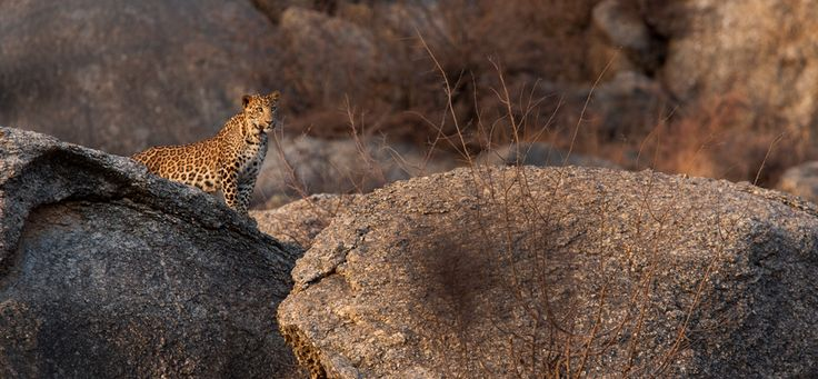 Leopard spotted while staying at Sujan