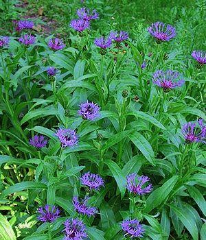 best 25 deer resistant landscaping ideas on pinterest deer resistant flowers deer garden and deer resistant shrubs
