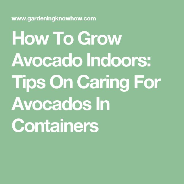 How To Grow Avocado Indoors: Tips On Caring For Avocados In Containers