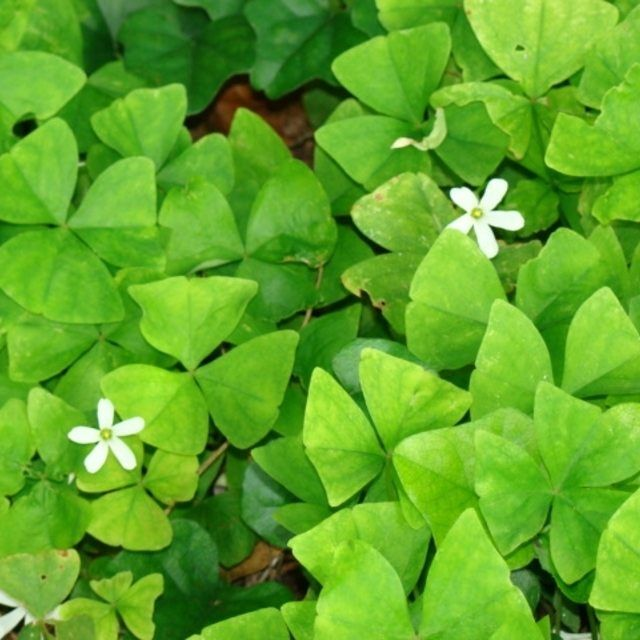 oxalis shamrock plant has lots of green