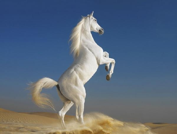 imgendArabian Hors, Beautiful, Tim Flach, White Horses, Horse Photography, Arabian Stallions, Westerns Australia, Hors Photography, Animal