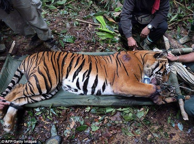 Malayan Tiger poaching | Critical | Pinterest | Tigers