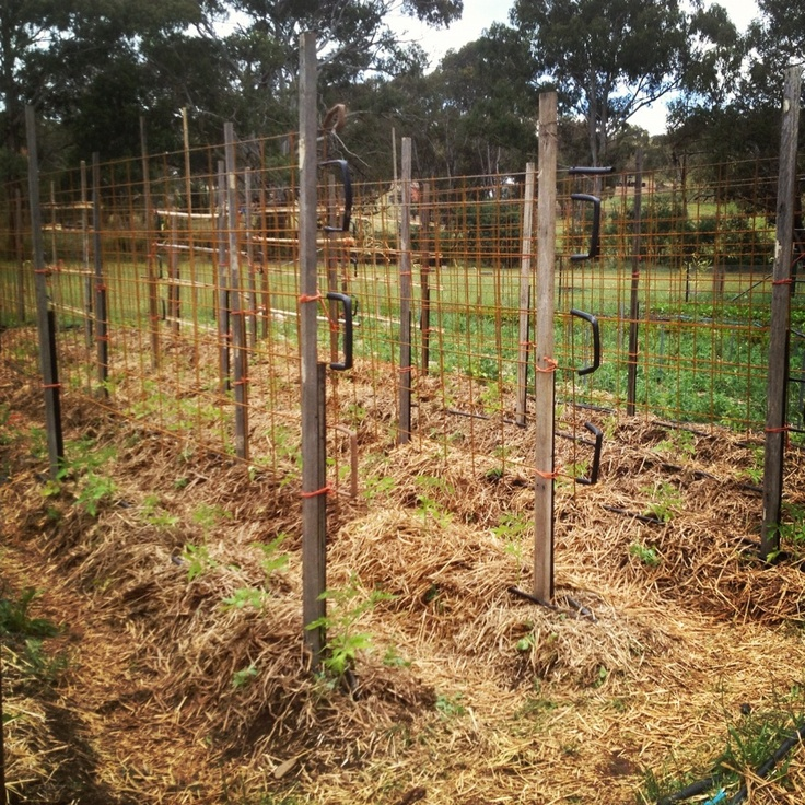 Tomato Trellises Are Up And All The Climbing Tomatoes 400 x 300