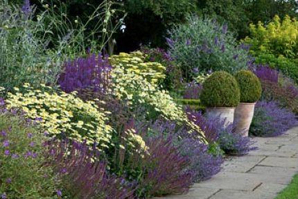 Summer border of Buddleia davidii 'Lohinch', Clematis viticella 'Etoile violette', Nepeta racemosa 'Walker's low' Anthemis tinctoria 'E.C.Buxton', Salvia superba, Salvia nemerosa 'Ostfriesland', Achillea credo, Echinops ritro 'Veitch's Blue', Geranium 'Nimbus', Geranium 'Rozanne', Sedum 'Matrona'