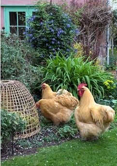 'Buff Orpington' hens having free range of garden, with protection provided for certain border plants - The Kitchen Garden, Troston, Suffolk
