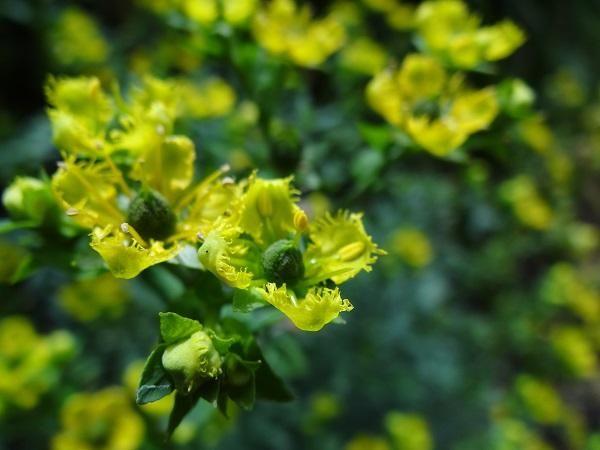 Cómo cuidar la planta de ruda. La ruda es una planta de aspecto muy vivaz, perenne que puede medir hasta 1 metro de altura. Es bonita, con hojas alternas, tallos en forma de rama, de color verde azulado y con una llamativa flor ama...