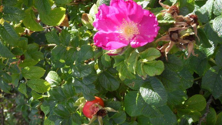 VOYAGEUR , ROSE dite sauvage , L`ÉGLANTINE,  fleur de L`ÉGLANTIER  ( la graine  CYNORRHODON , le poil a gratter)  Arbrisseau épineux des haies et des buissons ,dont sont issus les rosiers cultives . Famille des Rosacées .
