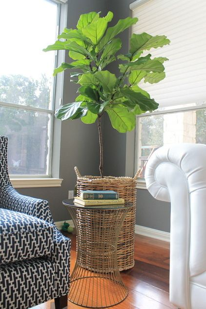 Fiddle leaf fig - Mod to bright light, more light if appears to reach toward light or dropping leaves. Too much direct sunlight can result in bleaching, browning, discoloration. Temp between 60 - 85. Water moderately & allow soil to dry out slightly between waterings. Browning on edges of  leaves is sign of overwatering. Drooping/yellow leaves are sign of underwatering.  General-purpose soil that is rich in organic matter and has good drainage. Fertilize monthly in spring/summer.
