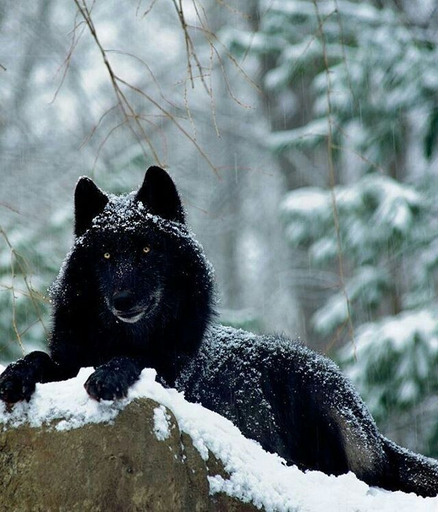 black wolf in snow